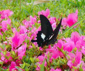 私の楽しいPHOTO GALLERY☆ 日本最大級のモンキアゲハ蝶を撮影