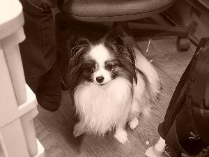 ☆パピヨンのかわいいところ☆ 初めまして 我が家の愛犬ハピが7月18日に亡くなってしまいました。 享年9才でした。 ペットロスはか