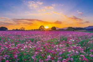 4565 - そーせいグループ(株) 温泉に行ったらコスモスがたくさん咲いていました☆