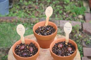 4565 - そーせいグループ(株) ドングリ植えました。  芽が出る頃にはそーせいさんの株価5桁になってるかな