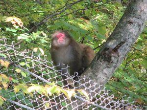 山に登ろう!! 焼岳に登る前、お猿さん達が出迎えてくれましたよ。  ボス猿も登場しました!   ↓詳細記事