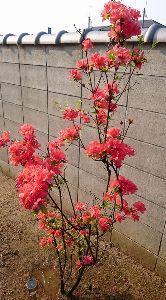 ゆっくりと・・・ 近年はサツキの花が開花して嬉しいな