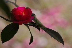 自己満足の世界 日陰に咲いている山茶花、寒々とした中に頑張って咲いています でも、時間によっては時々日が差しこみぬく