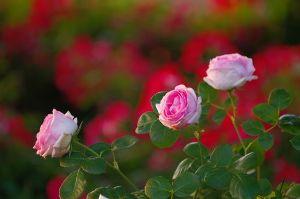 自己満足の世界 タイトル…薔薇、咲く朝  久しぶりの、早朝撮影、でも思っていたよりも 弱弱しい太陽でし