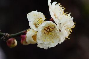 写真撮影趣味 梅の花