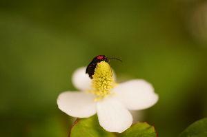 写真撮影趣味 ドクダミの花  虫はホタル?