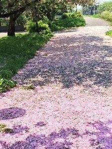写真撮影趣味 八重桜が散った後はピンクのじゅうたん(o^^o)
