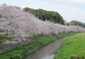 ヒマ人の独り言 今日も、朝から雨  サクラ、今が一番いい時なのに 雨  雨 雨が止んだら、もう桜が終わってるな~・・