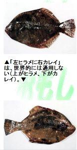 """☆色々ニュース☆ 【カレイとヒラメの違い】  """"左ヒラメに右カレイ""""とは,ヒラメとカレイの見分け方"""