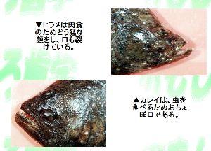 ☆色々ニュース☆ 【つづき】  さてヒラメは,白身の高級魚として鯛と並び称され,刺身やお寿司のネタとなっている。  し