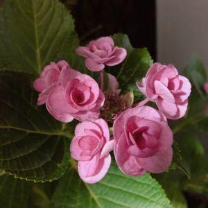 株式会社  駆け込み寺(ㆀ˘・з・˘) ベランダで 八重の紫陽花が育ってるよ。  (๑>◡<๑)ベランダ植物園(〃ω