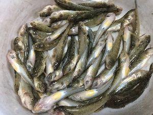 浜名湖および近辺の釣り 皆さんご無沙汰です 本日軟弱ハゼドンは日陰を探して釣りしていきました 300円の青虫で4時まで 10