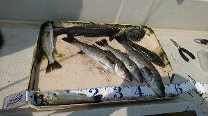 浜名湖および近辺の釣り やっと来た夏休み。友人のお誘いでボートゲームに行ってきました。 コチ、セイゴ30センチ以外はすべて友