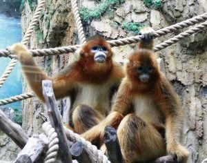 片思いのつぶやき 孫悟空の  モデルとなった  お猿さんです。  ゴールデンモンキー