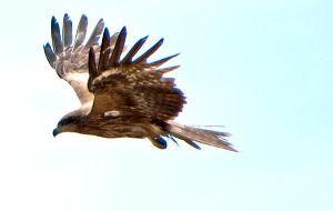 生き物山手線ゲーム 19.鷹  鷹というか猛禽類は獲物を狙っているときは 回りながら飛びますが