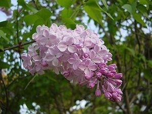 オババの思い出の一曲 ライラック  開花時期は、 4/15 ~ 5/ 5頃。 ・ヨーロッパ南東部原産。 ・「ライラック」は