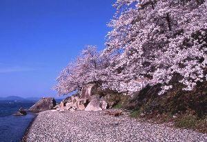 わくわくしませんか?  去年の海津大崎の桜です。