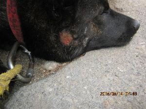甲斐犬と共に どうも埼玉県のお土産が多すぎで困りました。  からだを触りながらヤマダニを取ったりしていると 獣医へ
