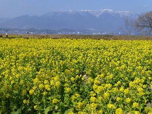 写遊人 少しずつあたたかくなってきて、 春の足音が聞こえます(*^_^*) 早咲き菜の花です