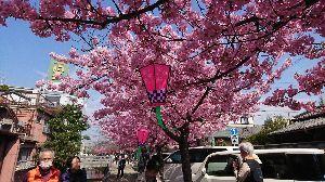 写遊人 春が来た   桑名市寺町で河津桜が見頃