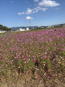写遊人 東員町コスモス畑