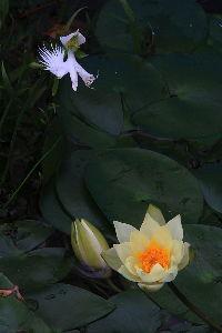 写遊人 やっと、さぎ草の花が1輪咲きました、タイトル:急降下。