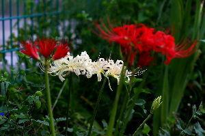 写遊人 皆さん今日は、家の庭の彼岸花です。