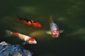 写遊人 永保寺の鯉。
