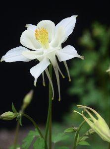 写遊人 おだまきそう 我が家の庭を多様花色で楽しませてくれます。