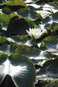 写遊人 朝日を受けて、輝くハスの群れ、東員町三段池にて。