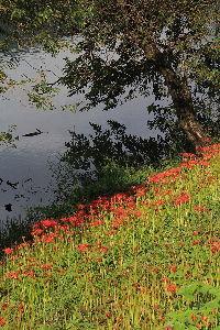写遊人 津屋川のヒガンバナ、その-2