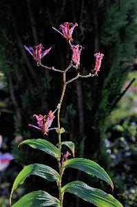写遊人 台湾ホトトギス、花の盛りは過ぎたが まだ見捨てたものではない。