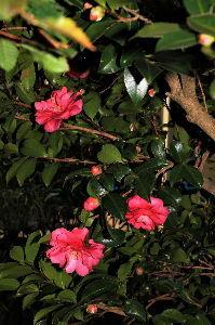 写遊人 我家の山茶花が咲き始めました。 平凡な花ですが、記念に一枚。