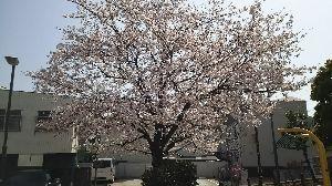 30代以上限定トピ 桜が満開です。