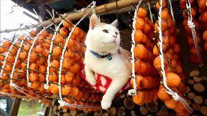 猫声人語 干し柿甘くなーれ