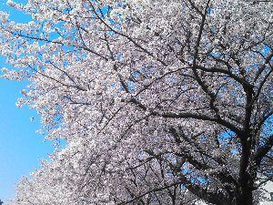 まったり系スノボ&温泉好き☆神奈川発 超久しぶりの書き込みでっす!  花見2018お疲れ様でした☆  去年と違って満開の最高の桜を 満喫で