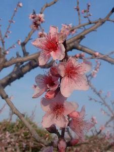 デジカメ大好き…。  此方は ソメイヨシノ 葉桜に代わり 桃の花が 満開  昨日の 桃の花 一枚です