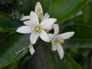 デジカメ大好き…。 お久しぶりです  春~初夏に  此方では もう みかんの花が満開