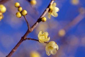 プラント・オパール・・・アクト3 花は言わずと知れた、蝋梅です。 まるでロウ細工のような黄色い花を 咲かせます。 新春に香り高い花を咲