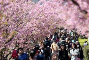 ★ ♪ 河 津 桜 祭 り ★ ♪ 河津桜に 春が来た ピンク ピンク一色 8000本 観光バス200台以上 観光客5万人オーバ
