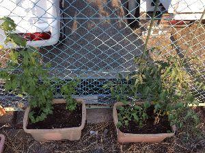 ほんわか33 暑いアツい熱い💦😵 カラ梅雨そのもの 田んぼの水が足りるかな😅 トマトもゴーヤも元気だけど 花がつか