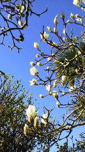 50歳以上で独身の方お話しませんか?Part two こんにちは~。 ウチのハクモクレンも咲き始めました。春ですね~。 今日も寒いですね。外の方が暖かいか