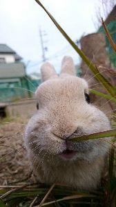 うさぎ好きの株投資家 寒い時の方がウサギはげんきがいいのかな?  ピーターも畑で枯れかけた草を食べてます。 少し重くなった
