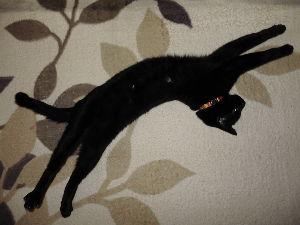 黒猫を飼っている方 のびのびのびのびのびのび~~。。( ̄- ̄)