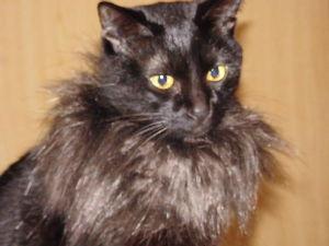黒猫を飼っている方 百円ショップで売ってる、ブーツにつけるモコモコ ニャンコの首に巻くと、、暖かくてよさそぉ~。。 見た