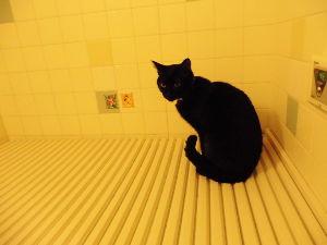 黒猫を飼っている方 お風呂大好き。。。( ̄- ̄)