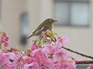 赤とんぼ  陽子ちゃん桜に居た「おいらが大将」の真紀子ちゃん。