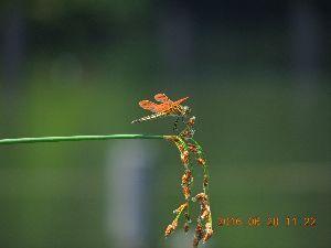 赤とんぼ  atya539256さん今番茶!、赤トンボは結構飛んで居ますね、6月に撮ったトンボの写真が 有った