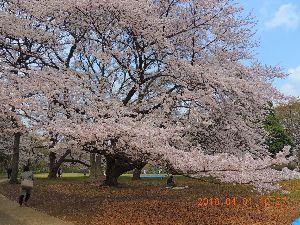 赤とんぼ  ザ・春爛漫❔今日の砧公園の桜の花です。