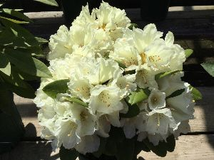 (*^▽^)/★*☆♪独り言(゜∇^d)!! 花みどり公園に 行って来ました。 シャクナゲが 咲いていましたよ。 シーズン これからですね〜🤗 ま